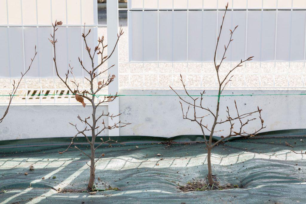 Plants de hêtres sous bâche et derrière une clôture