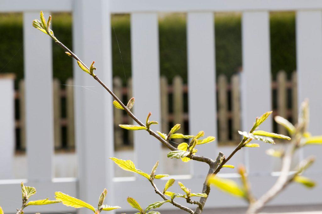 Pousse de printemps à l'abri d'un enclos.