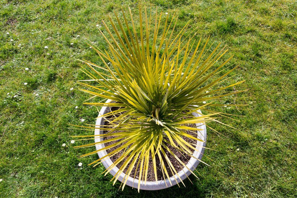 Jeune palmier en pot vu en plongée.